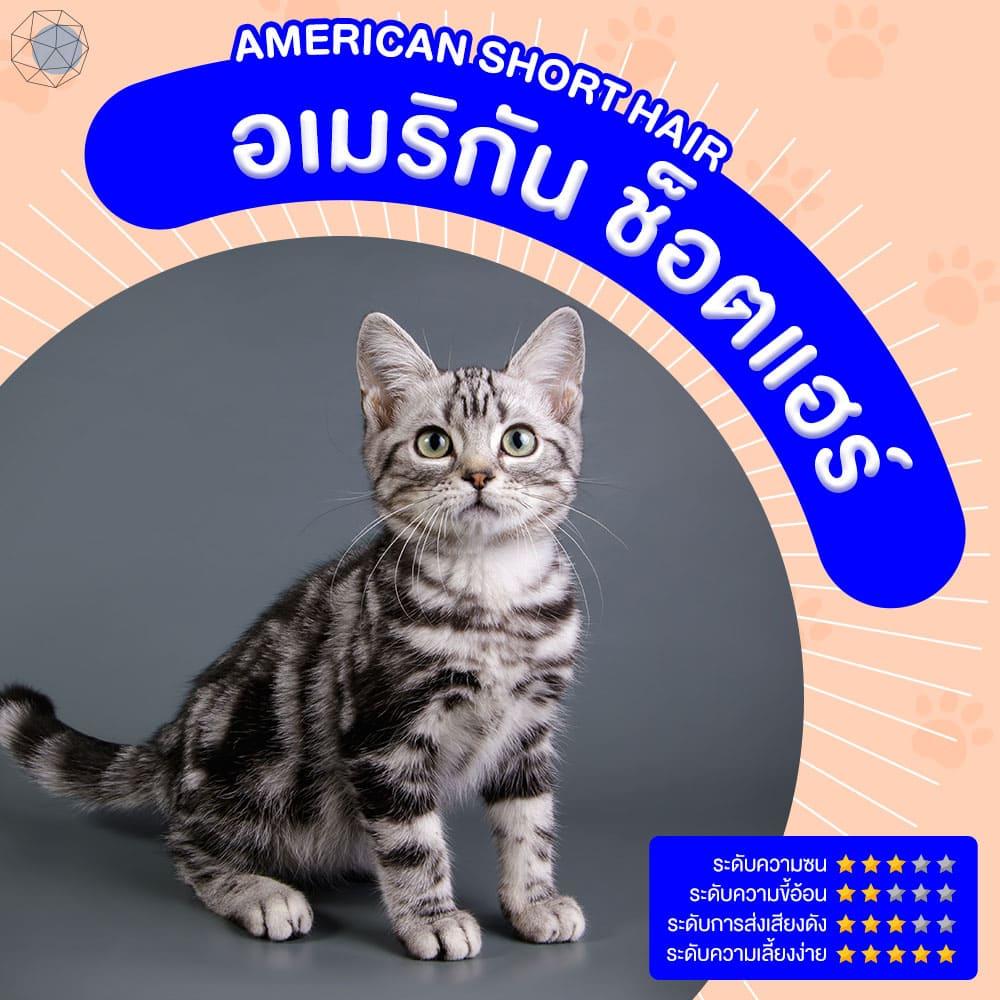 สายพันธุ์แมว อเมริกัน ช็อตแฮร์