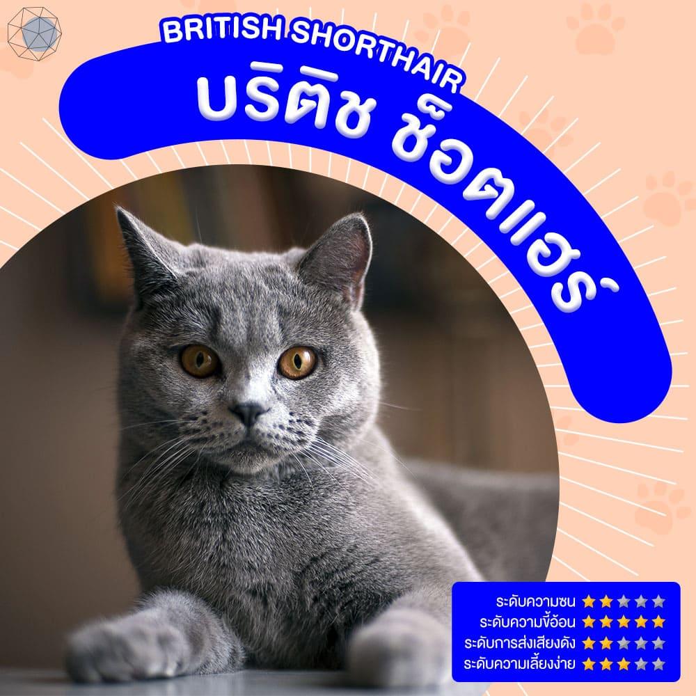 สายพันธุ์แมว บริติช ช็อตแฮร์