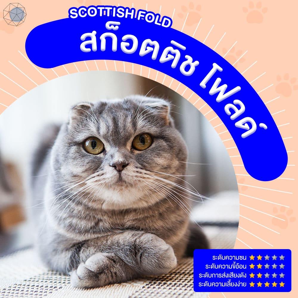 สายพันธุ์แมว สก็อตติช โฟลด์