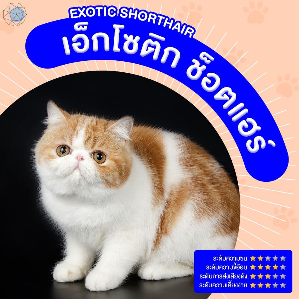สายพันธุ์แมว เอ็กโซติก ช็อตแฮร์