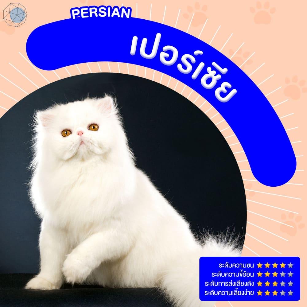 สายพันธุ์แมว เปอร์เซีย