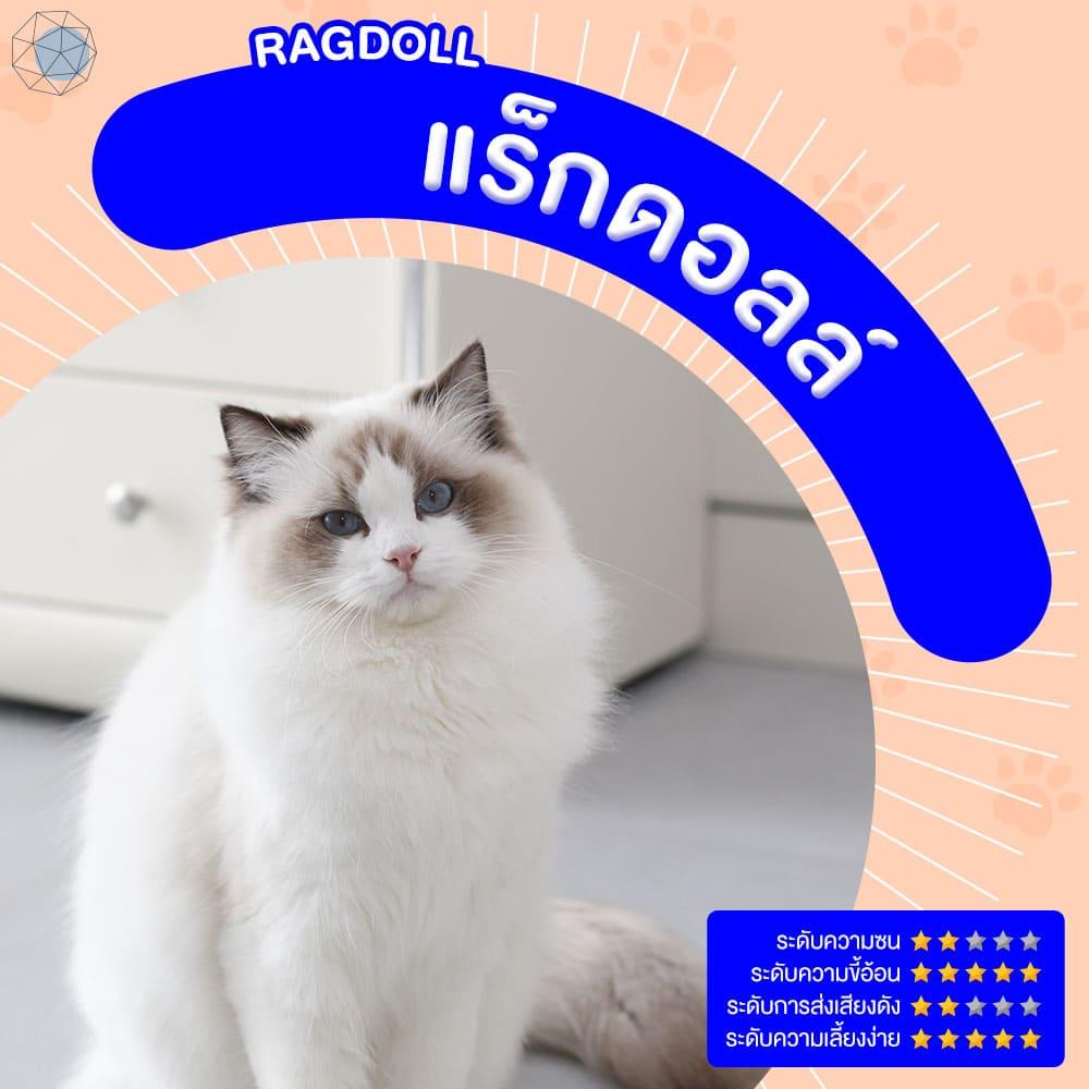 สายพันธุ์แมว แร็กดอลล์