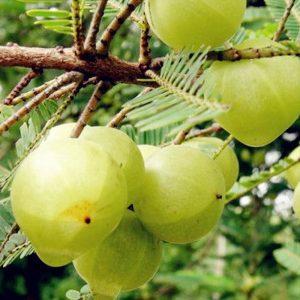 ผลไม้วิตามินซีสูง-วิตามินซี-ผลไม้-มะขามป้อม