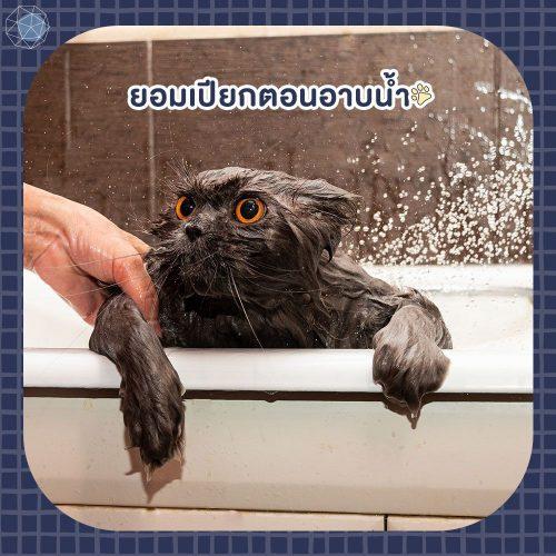 อยากเลี้ยงแมว ต้องยอมเปียกตอนอาบน้ำ