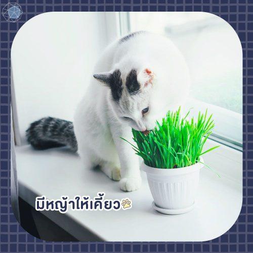 อยากเลี้ยงแมว ต้องมีหญ้าให้น้องเคี้ยว